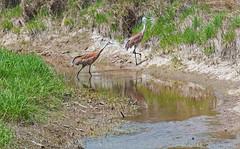 Sandhills crossing creek ((nature_photonutt)) Tags: sandhillcranes ironbridgeontariocanada