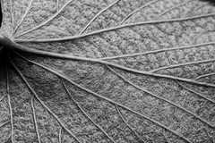 Grape Leaf (redfaux011) Tags: blackandwhite macro texture grape grapeleaf photochallenge mustanggrape