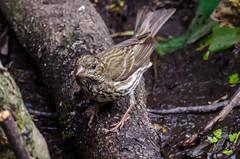 Female Purple Finch (zxorg) Tags: purplefinch finch bird