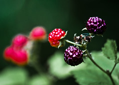 Wild Berries (mheidelberger2000) Tags: red wild summer food nature leaves fruit america outside midwest berries dof purple unitedstates natural sweet outdoor north indiana depthoffield raspberry northamerica jam thorn thorny blackraspberry rubusoccidentalis