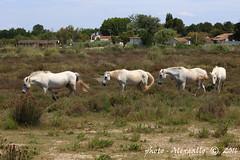 in fila (Alessandro.Gallo) Tags: natura francia cavalli palude animali camargue statobrado alessandrogallo photoalexgallo