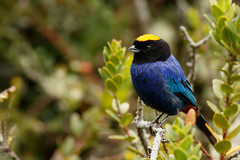 Iridosornis rufivertex - Golden-crowned Tanager (danielplow) Tags: birds colombia birding birdwatching iridosornisrufivertex birdsofcolombia colombiabirds