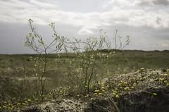 Raphanus raphanistrum ssp. maritimus (Rense Haveman) Tags: vlieland vliehors raphanusmaritimus pentaxk5 rensehaveman