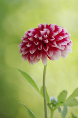 DAHLIA (sim_limited) Tags: dahlia red plant flower green bokeh pentaxlife pentaxart pentaxflickraward pentaxawards