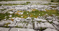 Flora of the Burren 18 (Michael Foley Photography) Tags: county ireland plants ice flora mediterranean clare glacier alpine age limestone burren clints artic climate temperate grikes grykes