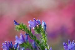 /Echium lycopsis L. (nobuflickr) Tags: flower nature japan kyoto   thekyotobotanicalgarden   awesomeblossoms echiumlycopsisl   20160522dsc09968