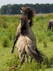 Oostvaardersplassen, Netherlands (Rebecca_Wilton) Tags: summer horse netherlands europe wildlife nederland olympus paard em1 2016 oostvaarderplassen konikhorse zuikodigital50200mm