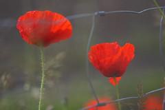 story behind the fence (Xtraphoto) Tags: flowers red flower rot fence bokeh blumen story poppy poppies blume zaun mohn mohnblume mohnblumen drahtzaun