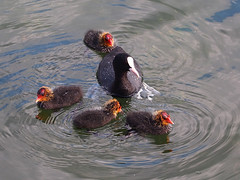 family (mark.griffin52) Tags: olympusem5 england hertfordshire wilstonereservoir wildlife nature bird coot
