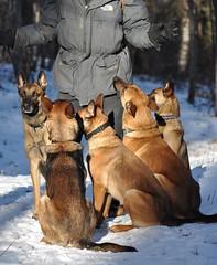 DSC_0092 (IN CANIS SPERAMUS) Tags: belgianshepherd malinois dog dogtraining puppy servicedog dogtrainer incanissperamus
