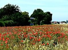 2016-07-07 aquarelle poppy field 3 (april-mo) Tags: poppy poppyfield redpoppy coquelicot redflower art flower fleurs field wheatfield champdebl nord france