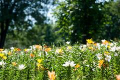 20160618-141536_tokorozawa-lily-garden (t.nanba) Tags: jp