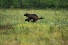 _DSC8293 (Thomas Mnard) Tags: wolverine fuite finlande herbes gulo glouton wildbrownbear