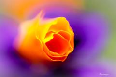 California dreaming (kiareimages1) Tags: pavotdecalifornie papaveri coquelicot fleurs flowers fiori flores fioriselvaggi fleurssauvages colori colors couleurs colores images immagini imagery imagenes macro macrophotographie macroflowers macrophoto kiareimaginations