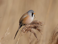 Bearded Tit (Hammerchewer) Tags: beardedtit bird male wildlife outdoor