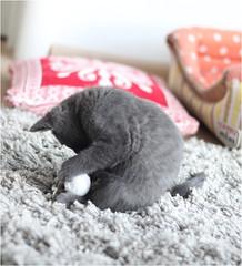 IMG_2525 (murkla_la) Tags: cat russianblue moussie gray graycat