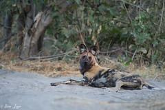DT-159 (Photography by Brian Lauer) Tags: botswana dumatau africa safari safaris wildlife travel nikonphotography nikon lion elephant hippo fisheagle saddlebilledstork piedkingfisher lilacbreastedroller wilddog