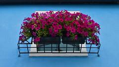 Blooming over blue (Miguel Castrillo Melguizo) Tags: petunias burano wall blue pared azul italia italy dc3200 nikon bloom blooming flores flowers ventana window flowerpott