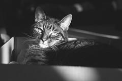 Sunbathing (WillemijnB) Tags: 50mm chats katten cats pet monochrome bw bokeh depthoffield animal