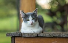 kittens (21) (Vlado Fereni) Tags: kitty kittens cats catsdogs animals animalplanet klenovnik zagorje hrvatska hrvatskozagorje croatia nikond600 nikkor8518