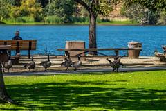 Geese at the lake (randyherring) Tags: ca california santaclaracountyparks geese vasonalakecountypark nature losgatos afternoon canadagoose park lake recreational outdoor brantacanadensis unitedstates us