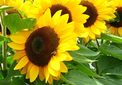 Sunflowers in a Row (abrideu Away a few days) Tags: abrideu canon depthoffield sunflower macro bright outdoor plant flower ngc npc