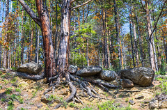 Pine on the steep sandy shore (Ivanov Andrey) Tags: hill slope sunset cliff tree pine pineforest forest larch conifer trunk stone boulder bark treeroot descend climb branch moss grass bush sky sand river beach orange sun evening landscape ascent descent shadow nature travel tourism lakebaikal russia