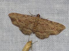 Xanthorhoe anaspila (dhobern) Tags: november blackheath australia lepidoptera nsw geometridae 2014 larentiinae xanthorhoe anaspila