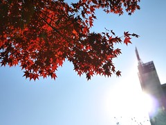 Momiji (kura51) Tags: november autumn momiji    bunkyo 2014  gx7 25f14 hongokyusuijyopark