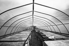 The Long Hoophouse (peterkelly) Tags: bw plants ontario canada digital native nursery greenhouse northamerica growing walsingham trays acorus hoophouse