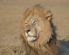 Windswept Lion (Edward Arthur) Tags: outdoors lion delta safari contax botswana plains manualfocus okavango 80200mm duba carlzeiss variosonnar