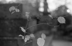 Untitled (odeleapple) Tags: bw tree film zeiss leaf nikon f100 carl planar 1450 neopan100acros zf2