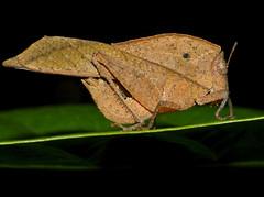 Dead-leaf Grasshopper (Chorotypus sp.) (berniedup) Tags: sarawak malaysia borneo grasshopper orthoptera permai santubong chorotypus deadleafgrasshopper taxonomy:genus=chorotypus