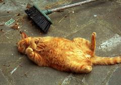 Drunken cleaner (Caulker) Tags: 2002 summer cat ginger patio broom vasia