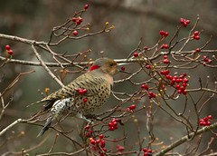 13 Ripe for the Picking (dogwood_springs_photography) Tags: red tree bird berry texas berries tx dogwood flicker northernflicker ripeforthepicking