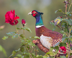 pheasant and the last of the summer roses (Ian-S) Tags:
