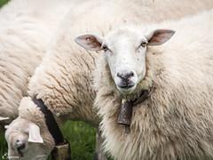 beeeeeeee (Eugercios) Tags: animal lamb oveja ovelha
