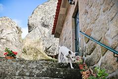 Ice the Dog in Penela da Beira (Gail at Large | Image Legacy) Tags: portugal 2014 gailatlargecom peneladabeira viseudistrict icethedog