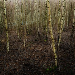Decomposition of a birch forest (Happy! - Andrea) Tags: tree forest olympus birch zuiko omd em1 unschrfe brurr