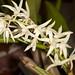 Eria fragrans – Merle Robboy