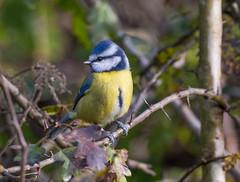 Blue Tit, Ladywalk NR, Warwickshire (Lathers) Tags: bluetit warwickshire cyanistescaeruleus ladywalk westmidlandsbirdclub canonef500f4lisusm ladywalknaturereserve canon7dmarkii november2014 canoneos7dmark2