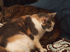 P4157698 (Raccoon Photo) Tags: pet cats pets cute love animal animals cat fur paw furry feline kittens pixie domestic kitties paws companions love animals eyes cat pixie kamalani domestic ball cat cats fur adorable stardust adopted
