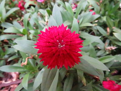 carnation (Mariana Fonzar) Tags: red brazil flower cannon carnation sx50