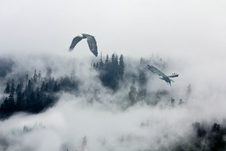 Eagles Over Snoqualmie Pass (Explored)
