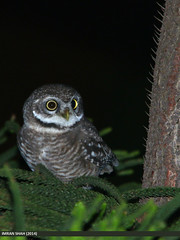Spotted Owlet (Athene brama) (gilgit2) Tags: pakistan bird birds animal fauna canon geotagged wings outdoor wildlife feathers sigma location species category avifauna islamabad athenebrama spottedowletathenebrama sigma150500mmf563apodgoshsm imranshah g9home gilgit2