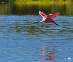 DSC_5669 a flickr (howardeverglades) Tags: bird everglades roseatespoonbill