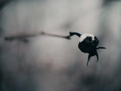 december nature (miemo) Tags: winter snow nature closeup finland frozen helsinki berry europe bokeh olympus nokton voigtlnder rosebush kruununhaka omd em5 voigtlndernokton25mmf095