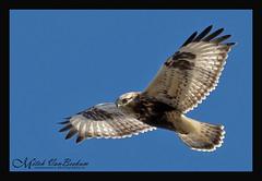 Rough-legged Hawk (Mitch Vanbeekum Photography) Tags: flying inflight roughleggedhawk buteolagopus libertyloop sussexnj canonef500mmf4lisiiusm canoneos1dx canon14teleconvertermkiii mitchvanbeekum