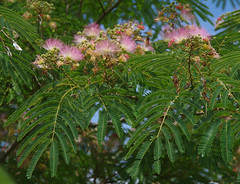 Albizia julibrissin, Dubbo Regional Botanic Garden, NSW, 05/12/14 (Russell Cumming) Tags: plant newsouthwales dubbo albizia albiziajulibrissin mimosaceae dubboregionalbotanicgarden