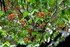 Polyalthia australis Annonaceae Permanent Freshwater Monsoon Forest (Nieminski) Tags: fauna flora nikon australia northern territory litchfield berrysprings southalligator douglasdaly pointstuart darwinurban
